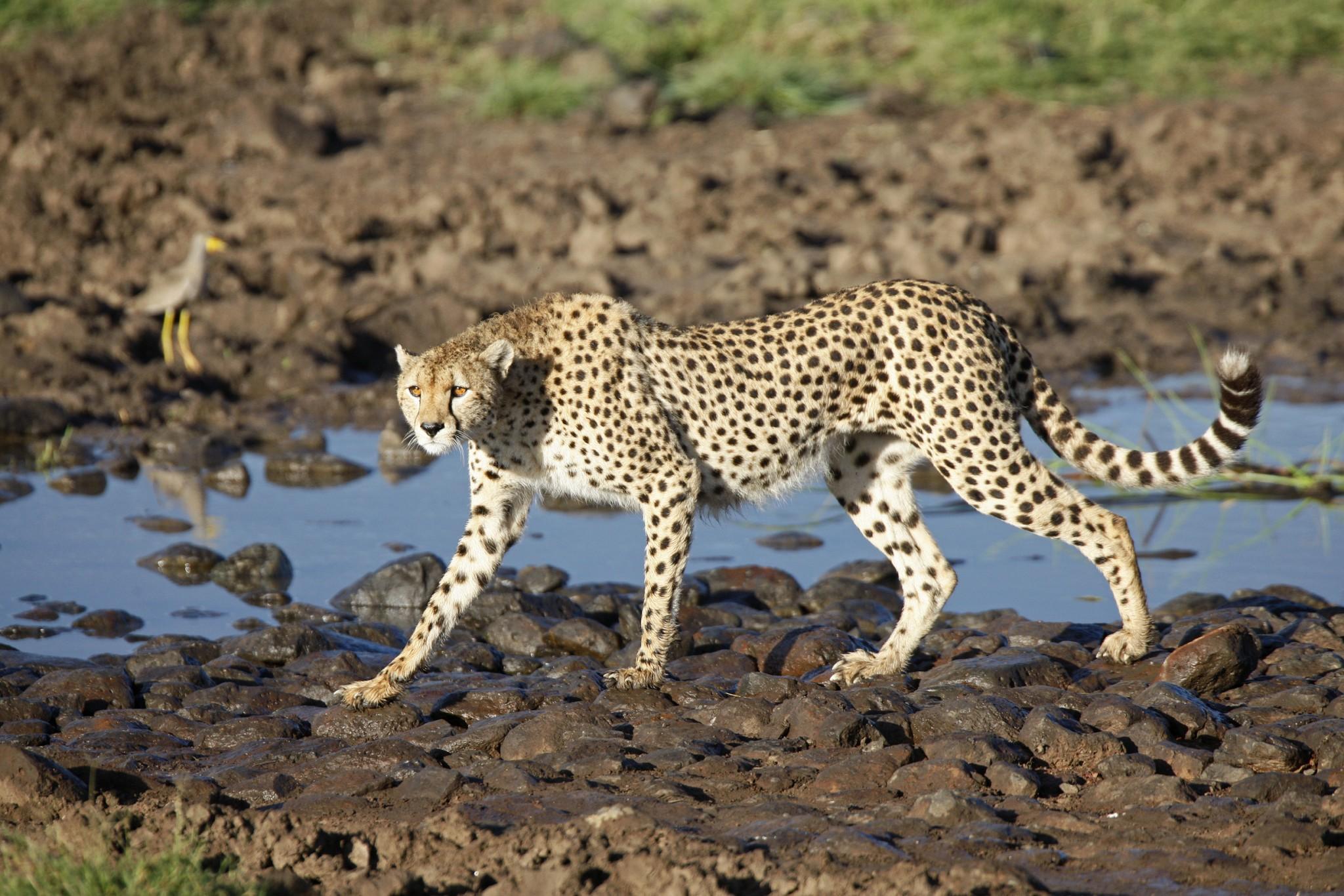 Gepard im Masai Mara Gebiet