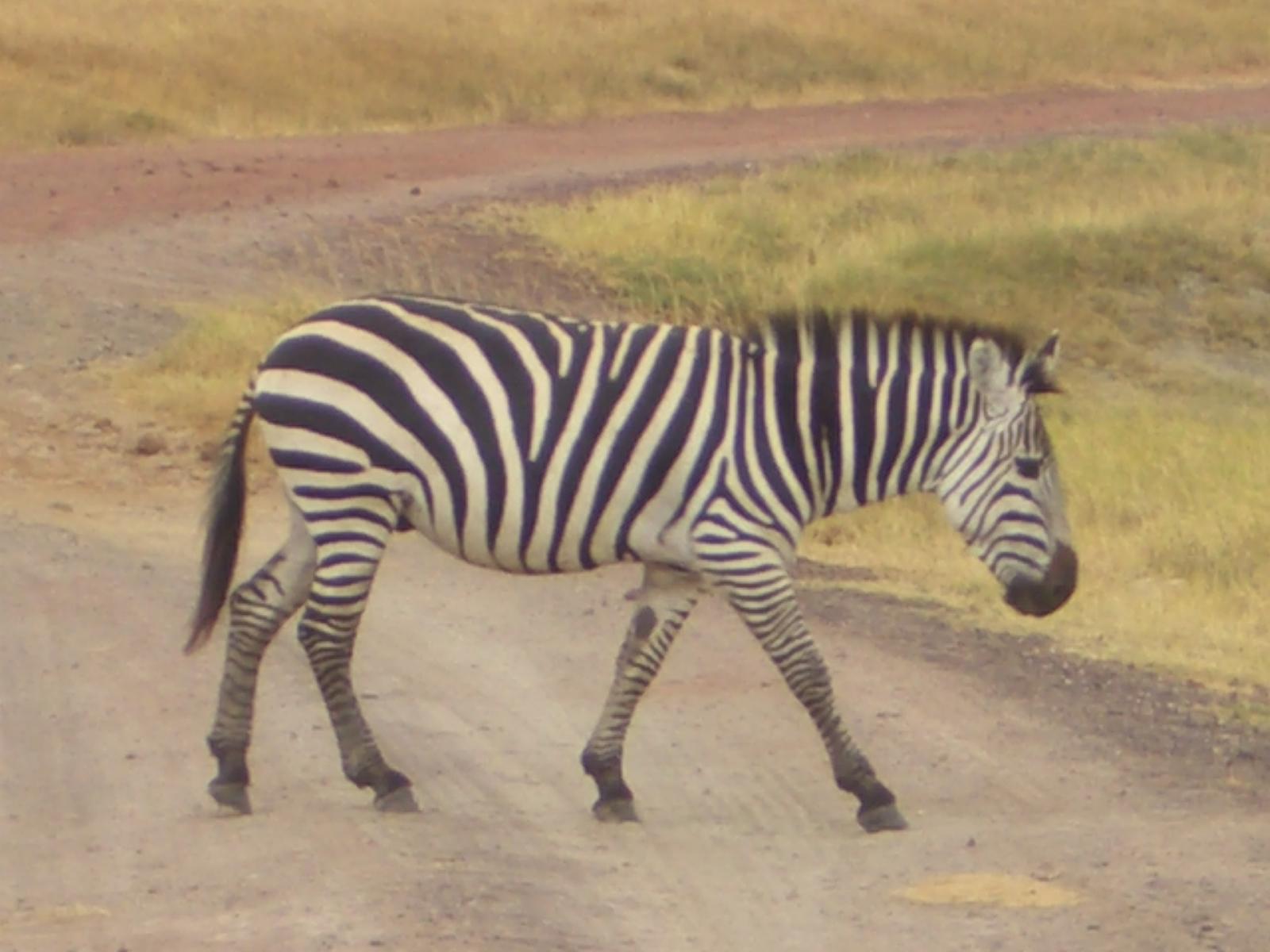 Zebra auf dem Weg
