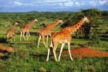 Giraffen im Tsavo Ost Nationalpark
