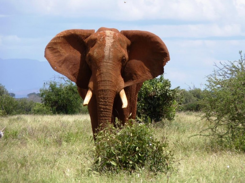 Elefant-im-Nationalpark-in-Kenia-Tierbeobachtung-auf-Safari