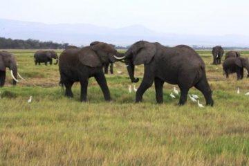 Elefanten-im-Amboseli-Nationalpark-Kenia-Safari-Tierbeobachtungen