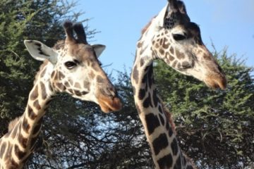 Giraffen-in-Kenia-Wildtierbeobachtung-Jeep-Safaritour
