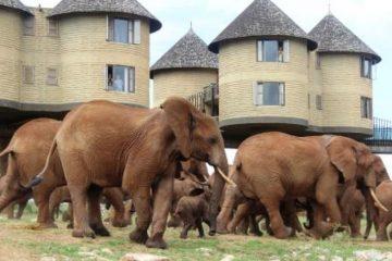 Elefantenherde-mit-Jungtieren-Lodges-Camps-Tierbeobachtungen-auf-Safari-in-Kenia