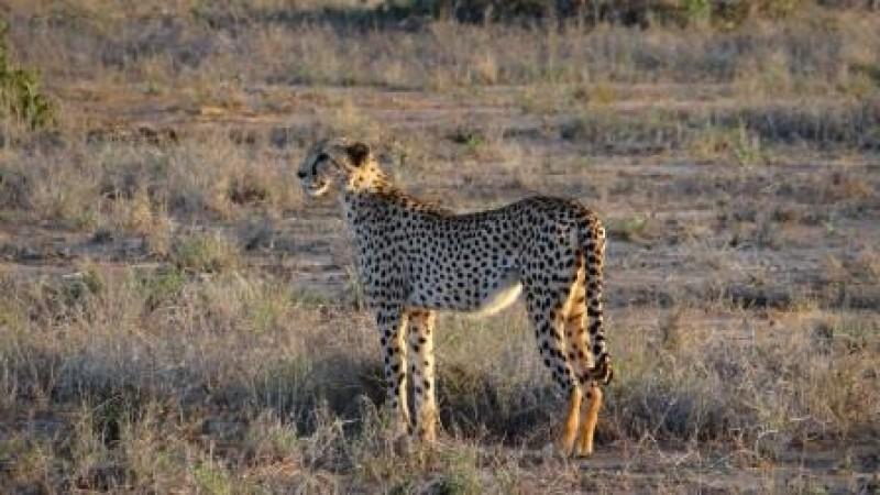 Gepard Kenia Safari Reisen Urlaub Tierbeobachtungen