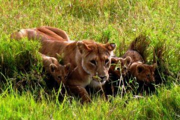 Kenia, Safari, Löwen, Junge, Tierbeobachtungen, Kenia, Urlaub, Reisen, Safari