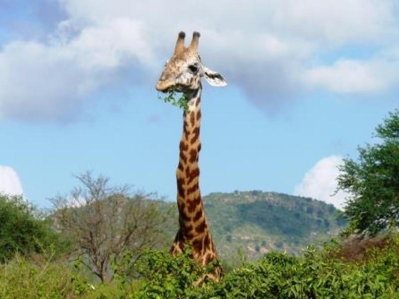 Tierbeobachtungen-in-Kenia-fressende Giraffe-im Nationalpark-Safari