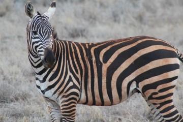 zebra im tsavo kenia safari