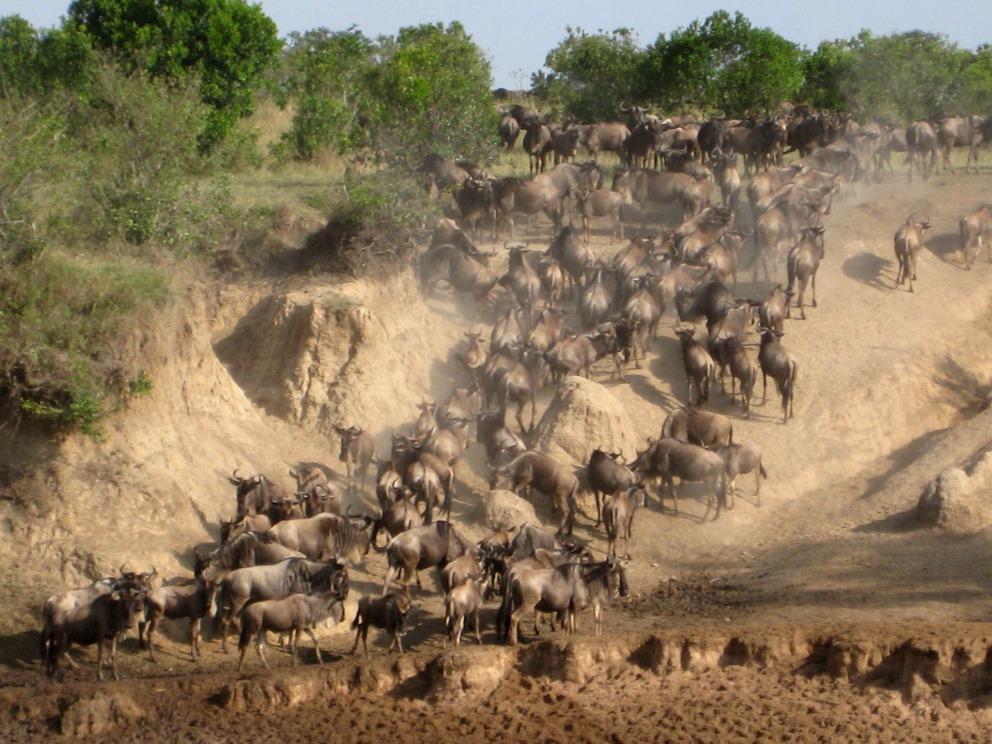 Migration in der Masai Mara