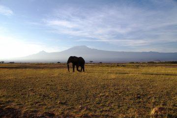 Elefant-im-Amboseli-Nationalpark-auf-Safari-in-Kenia