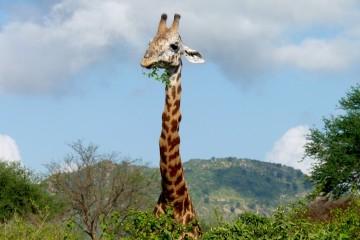 Giraffe auf Safari