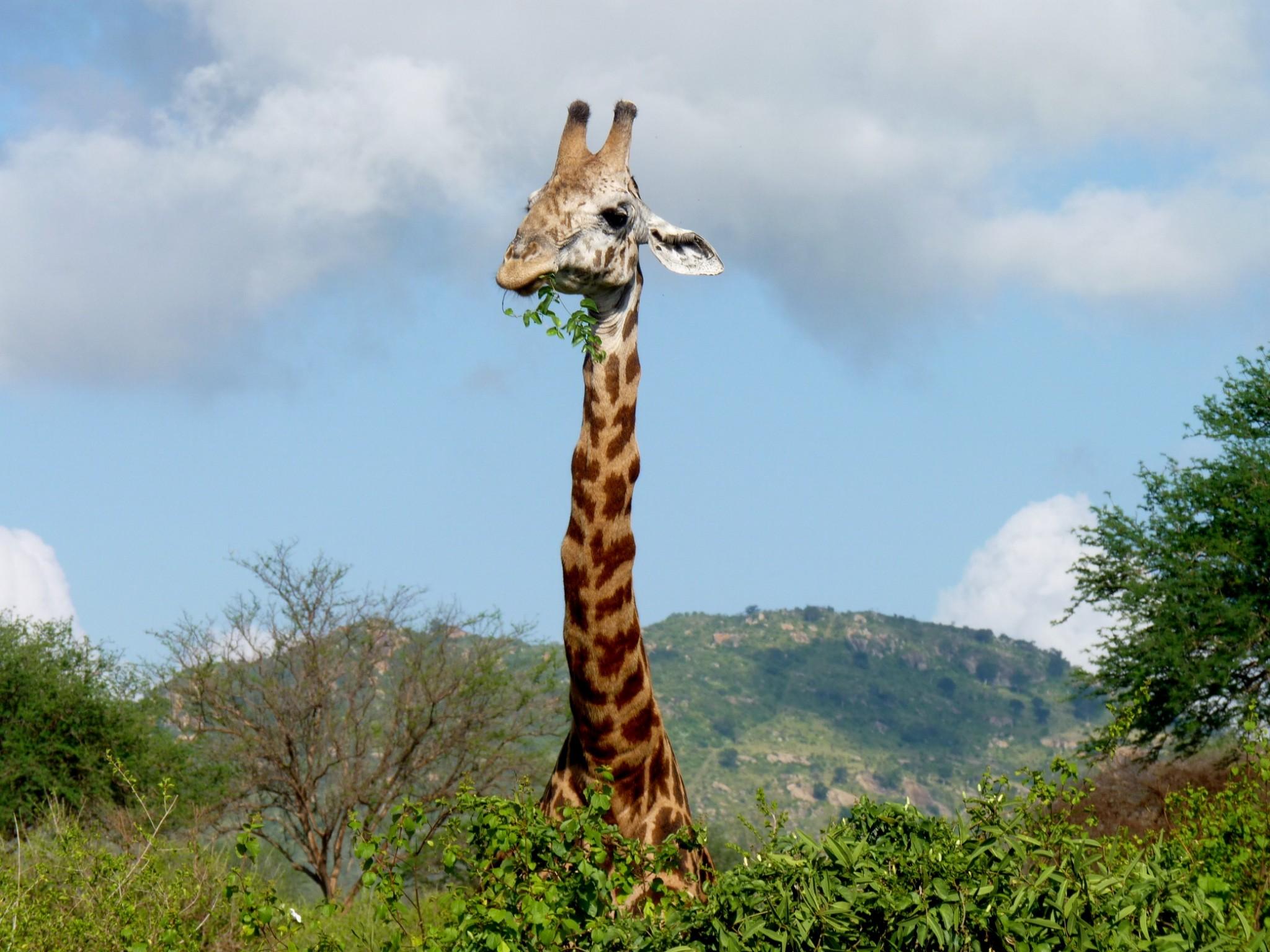 Giraffe auf Kenia Safari während eines Keniaurlaubs von Keniaspezialist keniaurlaub.de Reisekontor Schmidt