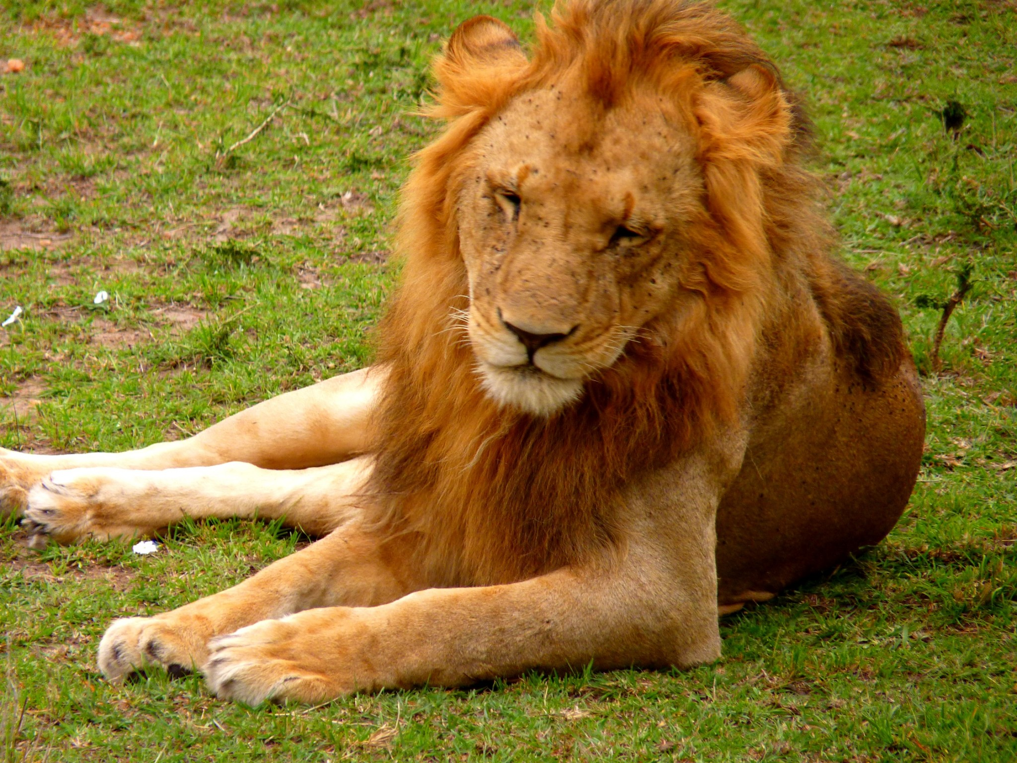 Löwe in der Masai Mara Kenia