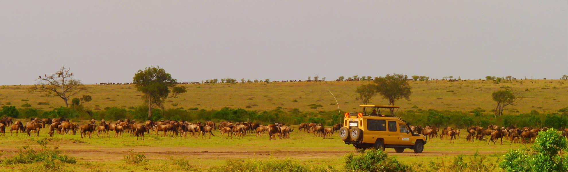Gnuherde im Mara Schutzgebiet