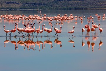 Flamingos am Lake Nakuru