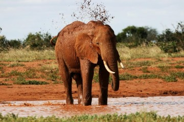 Safari Red Elephant im Tsavo Ost