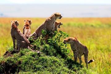 Geparden-Rudel im Masai Mara Schutzgebiet