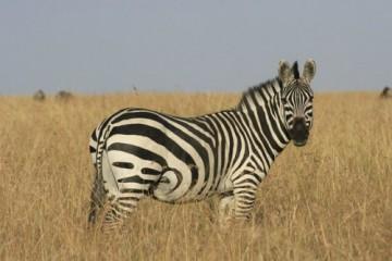 Privat Safari Jambo Tsavo in den Tsavo West und Ost