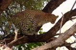 Flugsafari Mara Leopard in der Masai Mara Kenia