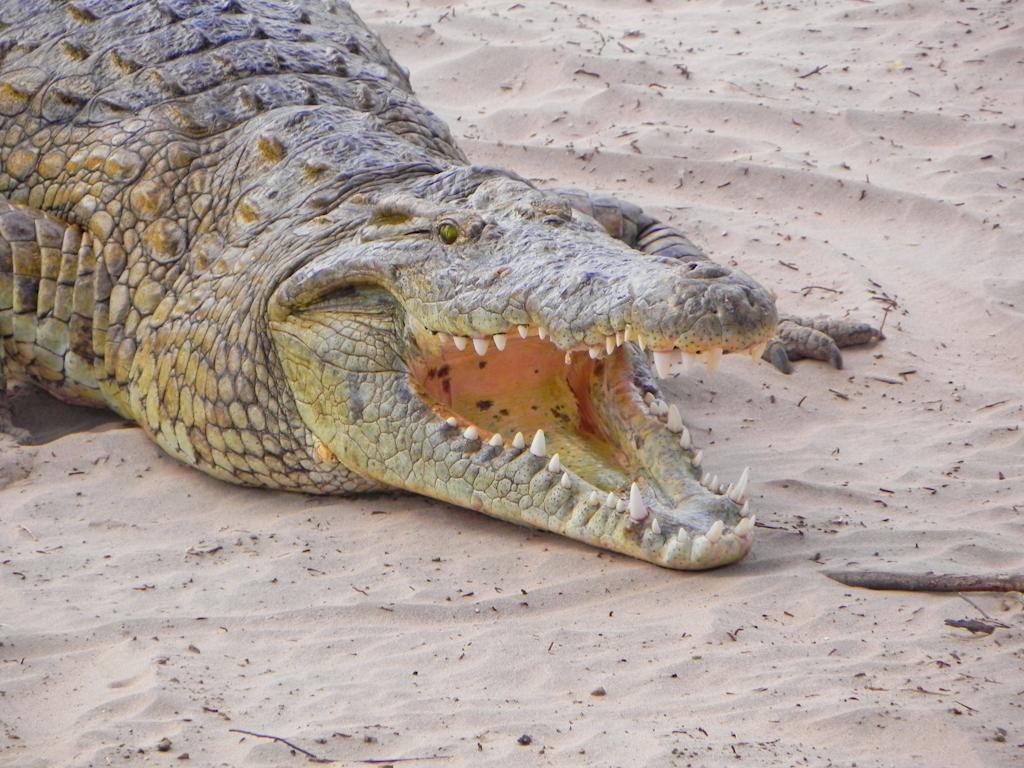 Krokodil am Galana River