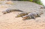 Crocodile am Fluss-Ufer im Crocodile Camp