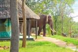 Besuch eines Elefanten im Crocodile Camp