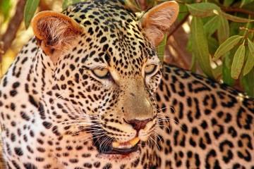 Leopard im Masai Mara Reservat
