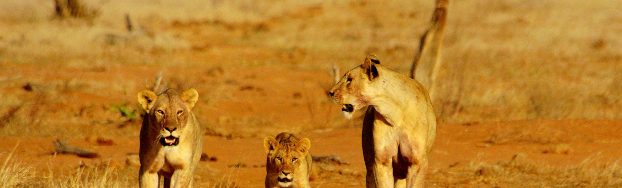 Löwen im Tsavo Ost Nationalpark