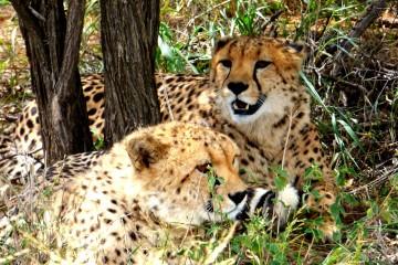 Geparden während einer Kenia Safari Reisemit KeniaSpezialist keniaurlaub.de Reisekontor Schmidt