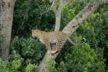 Flugsafari Mara Leopard in der Masai Mara