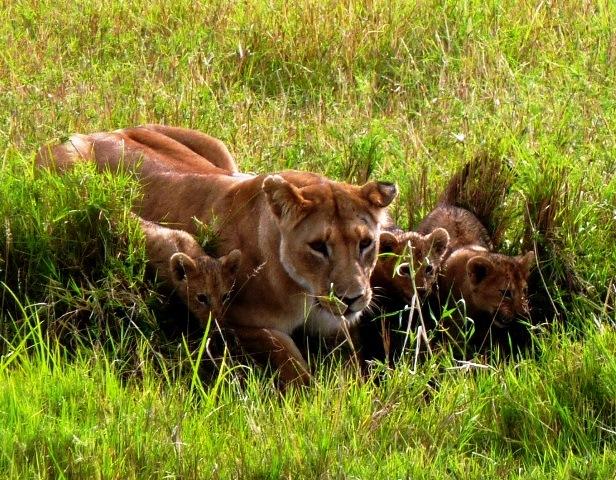 Kenia-Safari-Reise-Löwe-mit-Jungen