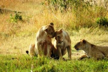 Kenia Urlaub mit Safari Löwe