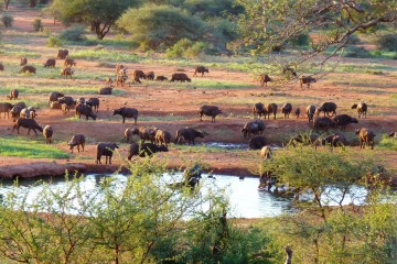 Wasserloch mit Büffeln an der Kilaguni Serena Lodge