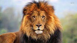 Löwe in Kenia während einer Keniasafari im Keniaurlaub