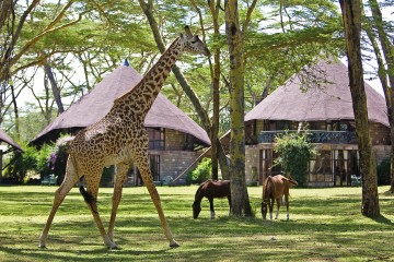 Giraffen im Garten der Lake Naivasha Sopa Lodge