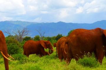 rote Elefanten im Tsavo Ost Nationalpark