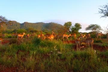 Impalas im Tsavo Nationalpark bei Sonnenuntergang
