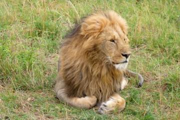 Löwe im Masai Mara Reservat