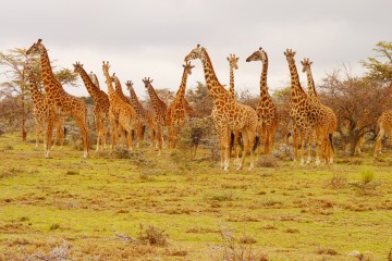 Massai Giraffen im Masai Mara Reservat