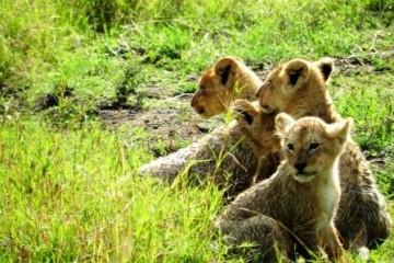 Löwenbabies beobachtet auf Safari in Kenia