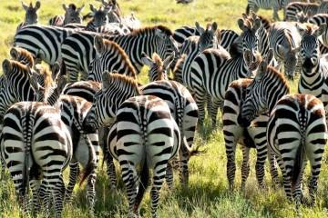 Zebras in der Masai Mara Kenia