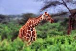 Giraffe beobachtet auf einer Kenia Safari