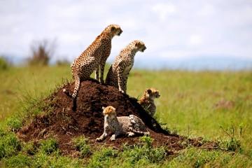 Geparden-Familie in Kenias Masai Mara