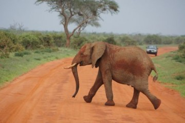 Elefant im Tsavo Ost Nationalpark