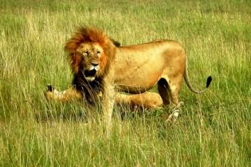 Löwen in der weltberühmten Serengeti