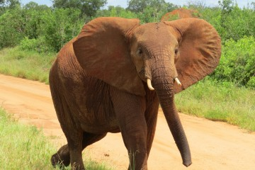 roter Elefant im Tsavo Ost Nationalpark