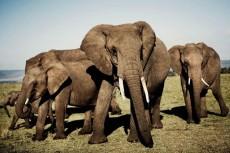 Elefanten in Kenia erleben