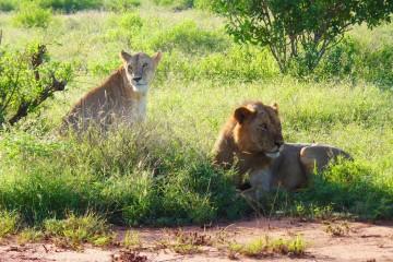 Löwen von Tsavo im Tsavo Ost Nationalpark