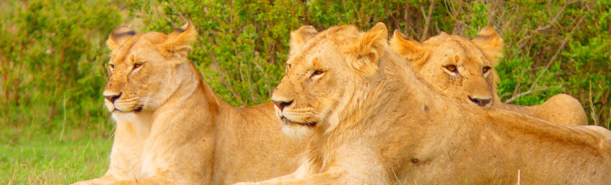 Löwinnen in der Masai Mara