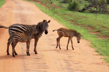 Tierwunder der Savannen Zebra mit Fohlen bei einer Kenia Safari Tour mit KeniaSpezialist keniaurlaub.de