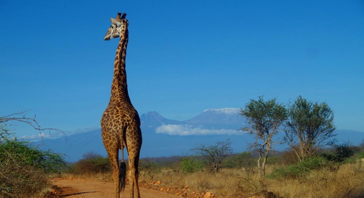 Giraffe, Kenia, Safari, Reisen, Tiere, Kilimanjaro